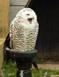 De uil van de sneeuw. Royalty-vrije Stock Foto