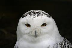 De uil van de sneeuw stock afbeelding
