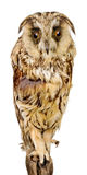 De uil van de vogel Royalty-vrije Stock Foto