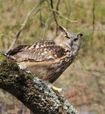 De Uil van Eagle. Royalty-vrije Stock Foto's