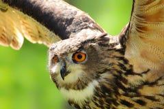 De uil van het detailgezicht met open vleugels royalty-vrije stock foto