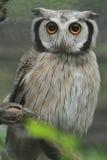 De uil van Scops Royalty-vrije Stock Afbeelding