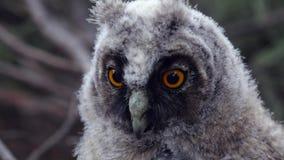 De uil zit op een boomtak en onderzoekt de afstand, en de wind trekt haar veren stock videobeelden