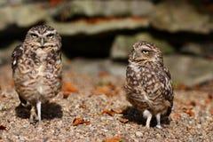 De uilen van Burrowing Stock Foto's