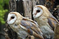 De uilen van de schuur Royalty-vrije Stock Afbeeldingen