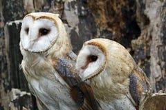 De uilen van de schuur stock fotografie
