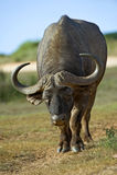 De Uitdaging van buffels Stock Foto