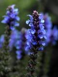De Uiteinden van Salvia Stock Afbeelding