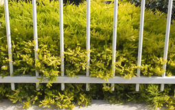 De uiterst kleine bladeren van gouden diosma met roze bloemen verfraaien een witmetaalomheining Royalty-vrije Stock Foto's