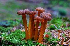 De uiterst kleine bruine macro van de paddestoelgroep Stock Foto's