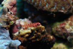 De uiterst kleine rode vissen leefden in koraalrif Stock Afbeeldingen