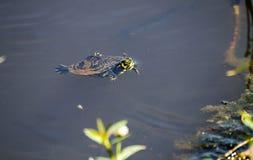 De uiterst kleine schildpad van de vijverschuif, Georgië de V.S. royalty-vrije stock foto