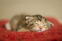 De uiterst kleine slaap van de babykat op een rode deken stock fotografie