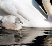 De uiterst kleine zwaan die van de 3 dag oude baby naast haar moeder zwemmen Stock Foto's