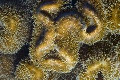 De uitgebreide poliepen van het leer koraal royalty-vrije stock foto's