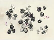 De uitstekende illustratie van Blackberry Geïsoleerde hand getrokken braambessentak vector illustratie