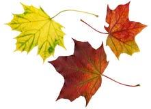 De uitstekende kwaliteit tastte bladeren van esdoorn (Acer) af Stock Fotografie
