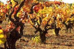 De uitstekende wijnstokken glanzen Stock Foto