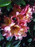 De uma flor Foto de Stock Royalty Free