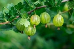 De unga frukterna av krusbäret på filialen, närbild Royaltyfria Bilder