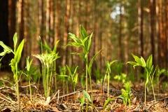 De unga nya gröna groddarna av ett gräs i en skog Royaltyfria Bilder