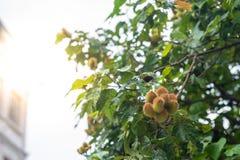 De urucumboom met vele vruchten het hangen royalty-vrije stock foto