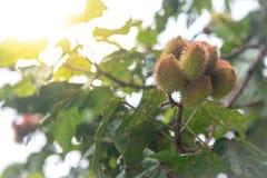 De urucumboom met vele vruchten het hangen royalty-vrije stock afbeeldingen