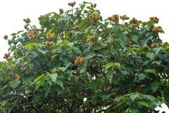 De urucumboom met vele vruchten het hangen stock afbeelding
