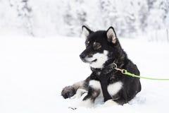 De Uskyhond die een onderbreking nemen tussen slee trekt royalty-vrije stock foto