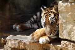 De Ussurian-Tijger is droevig in gevangenschap bij de dierentuin stock afbeeldingen