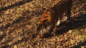 De Ussuritijger zoekt iets in droge bladeren in Primorsky-Safaripark, Rusland stock videobeelden