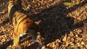 De Ussuritijger zoekt iets in droge bladeren in Primorsky-Safaripark, Rusland stock footage