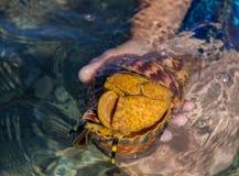 De vader en de zonduiker vinden grote shell in het Egeïsche overzees Royalty-vrije Stock Afbeelding