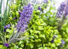 De vage achtergrond van het bloemengras in zachte nadruk in zacht groene en violette /purple-kleur stock afbeeldingen