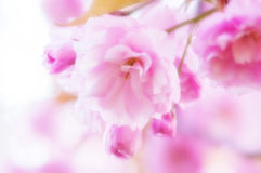 De vage dromerige zachte bloemen van de nadruk Mooie lente Royalty-vrije Stock Fotografie