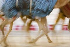 De Vage motie die van Doubai de V.A.E van kamelen tijdens opleiding bij Nad Al Sheba Camel Racetrack lopen stock foto's