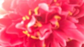 De vage rode roze bloemachtergrond, Roze Valentine Background, nam onscherp bloem abstract behang toe Royalty-vrije Stock Afbeelding
