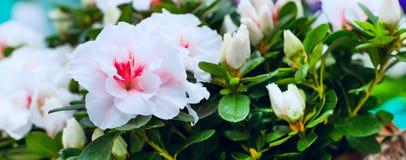 De vakantieachtergrond van close-up roze en witte bloemen Stock Foto's