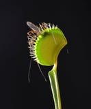 De val van de Venusvlieg met prooi Royalty-vrije Stock Afbeeldingen