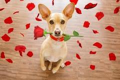 De valentijnskaartenhond in liefde met nam in mond toe Royalty-vrije Stock Afbeeldingen