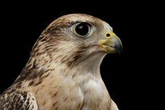 De Valk van close-upsaker, Falco cherrug, op Zwarte achtergrond wordt geïsoleerd die stock afbeeldingen