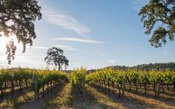 De Vallei Eiken boom van Californië in wijngaard bij zonsopgang in de wijngaard van Paso Robles in de Centrale Vallei van Califor royalty-vrije stock afbeelding