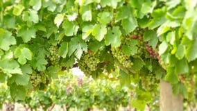 De vallei van Barossa van wijndruiven Stock Foto's