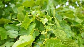 De vallei van Barossa van wijndruiven Stock Afbeeldingen
