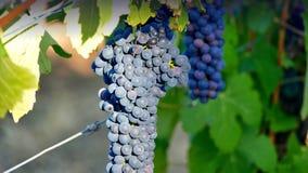 De vallei van Barossa van wijndruiven Royalty-vrije Stock Afbeelding