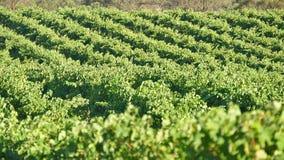 De vallei van Barossa van wijndruiven Royalty-vrije Stock Afbeeldingen