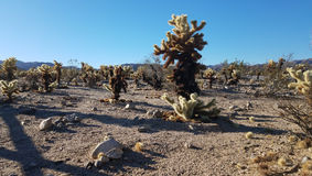 De Vallei van de Chollacactus in Joshua Tree Park, Californië Royalty-vrije Stock Foto's