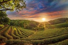 De vallei van de theeaanplanting bij dramatische roze zonsonderganghemel in Taiwan