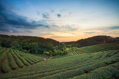De vallei van de theeaanplanting bij dramatische roze zonsonderganghemel in Taiwan Stock Foto