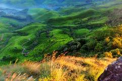 De vallei van de theeaanplanting bij zonsopgang Stock Foto's